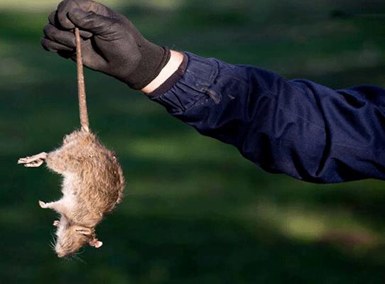 Tiêu diệt và kiểm soát chuột